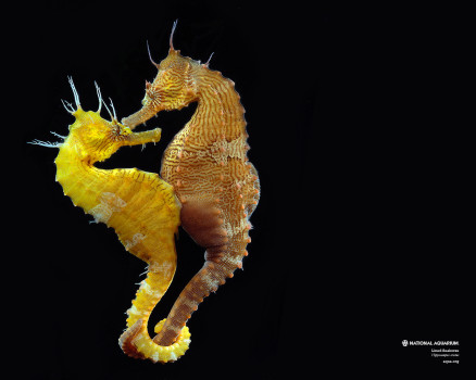LinedSeahorse-1280x1024
