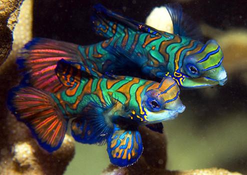 MantaRayBayYap-MandarinFish1-MikeVeitch