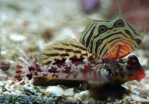 Scooter_blenny_-_by_BJ_Beggerly