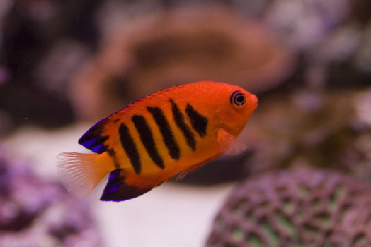 a bright orange flame angel fish